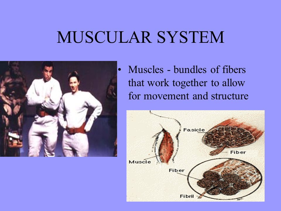 MUSCULAR SYSTEM Muscles - bundles of fibers that work together to allow for movement and structure.
