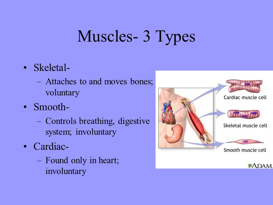 Muscles- 3 Types Skeletal- Smooth- Cardiac-