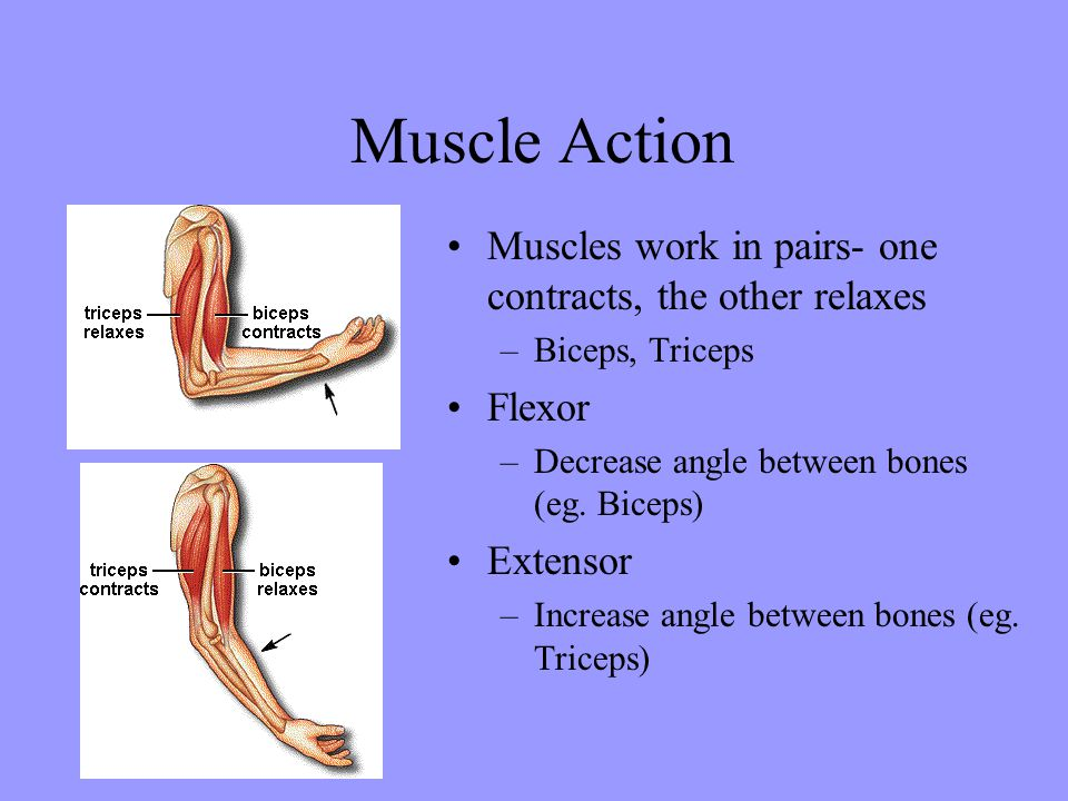 Muscle Action Muscles work in pairs- one contracts, the other relaxes