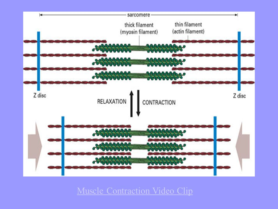 Muscle Contraction Video Clip