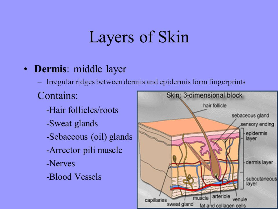 Layers of Skin Dermis: middle layer Contains: -Hair follicles/roots
