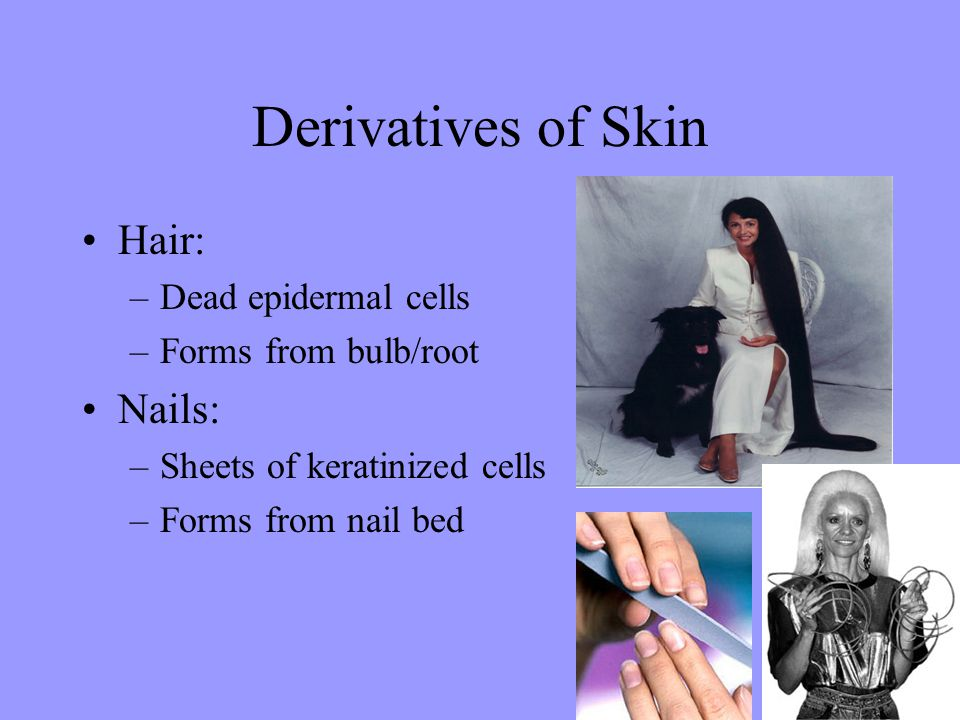 Derivatives of Skin Hair: Nails: Dead epidermal cells