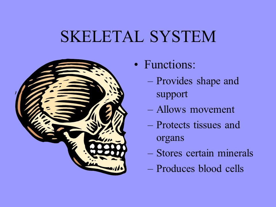 SKELETAL SYSTEM Functions: Provides shape and support Allows movement