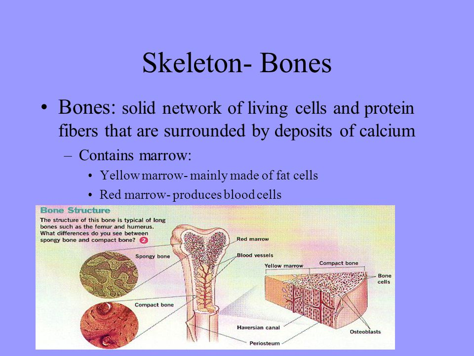 Skeleton- Bones Bones: solid network of living cells and protein fibers that are surrounded by deposits of calcium.
