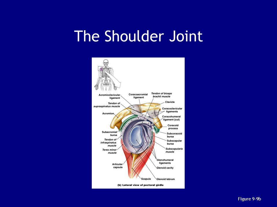 The Shoulder Joint Figure 9–9b
