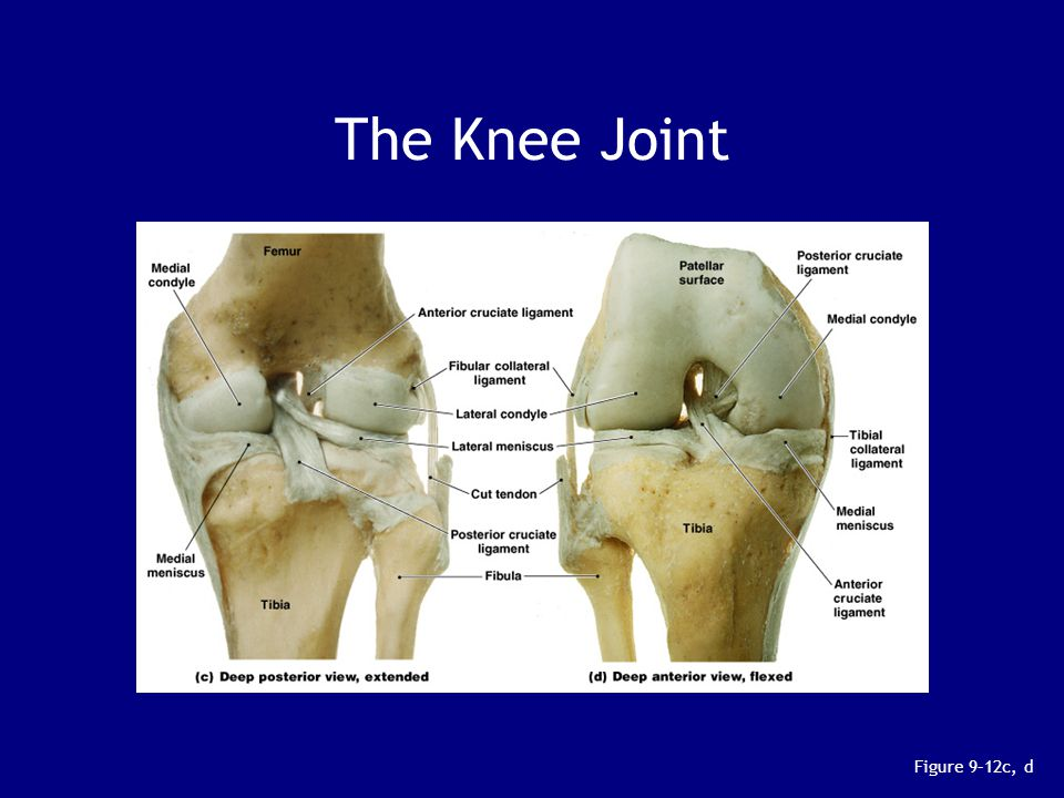 The Knee Joint Figure 9–12c, d