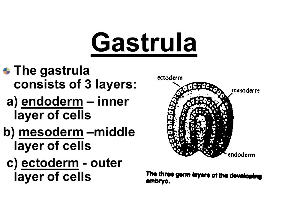 Gastrula The gastrula consists of 3 layers: