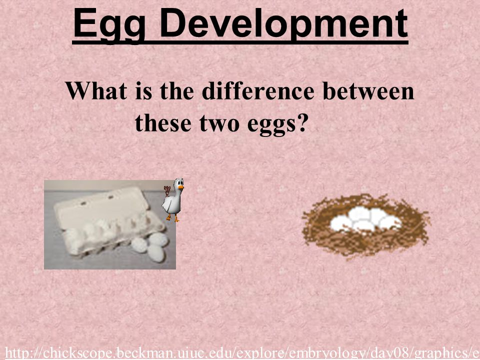 Egg Development What is the difference between these two eggs