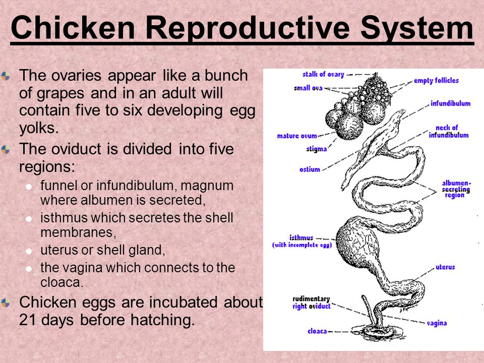 Chicken Reproductive System