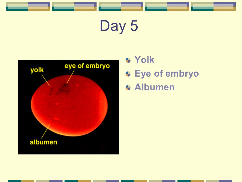 Day 5 Yolk Eye of embryo Albumen