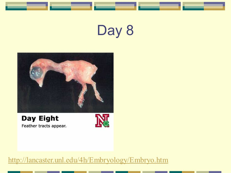 Day 8 http://lancaster.unl.edu/4h/Embryology/Embryo.htm