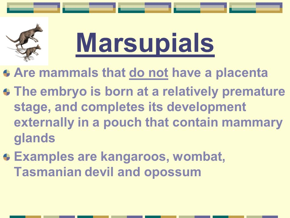 Marsupials Are mammals that do not have a placenta
