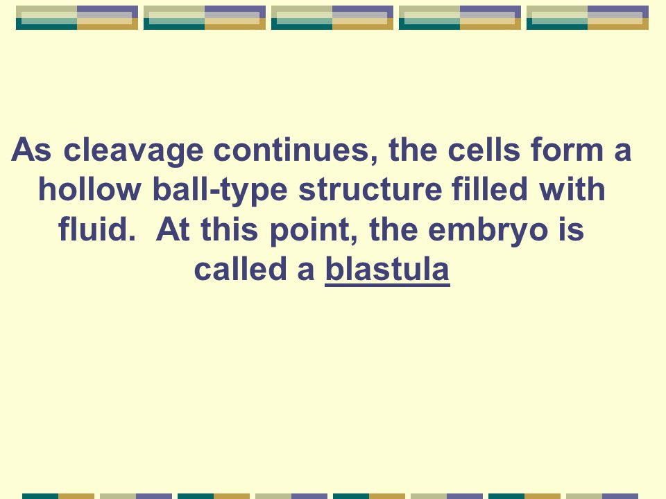 As cleavage continues, the cells form a hollow ball-type structure filled with fluid.