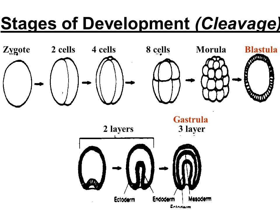 Stages of Development (Cleavage)