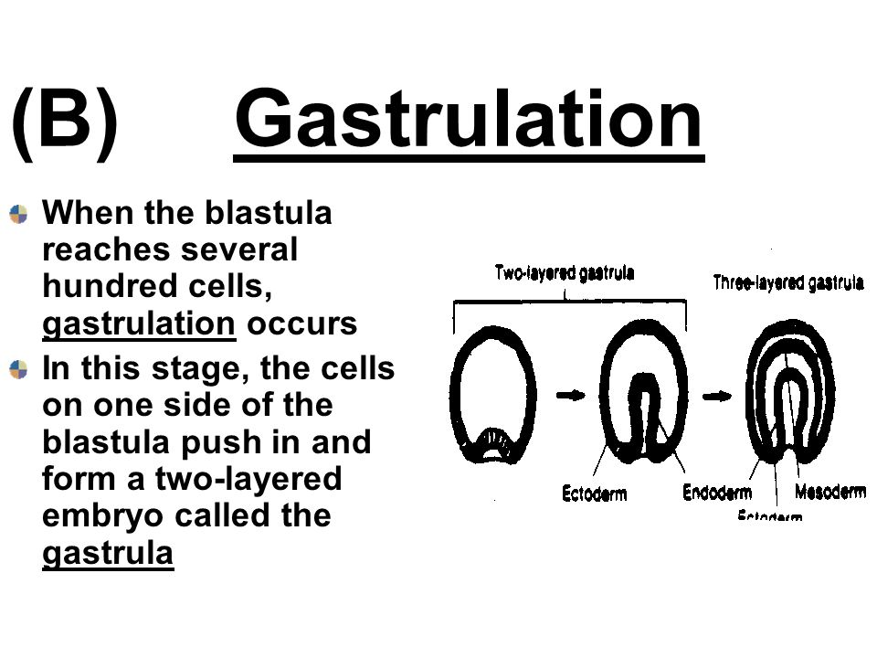 (B) Gastrulation When the blastula reaches several hundred cells, gastrulation occurs.
