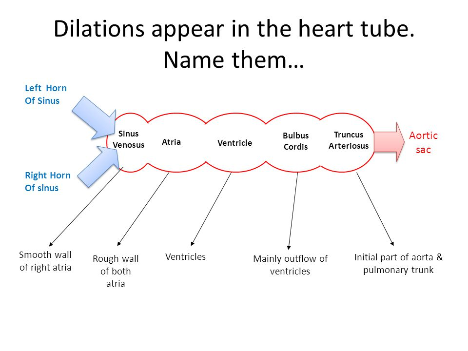 Dilations appear in the heart tube. Name them…