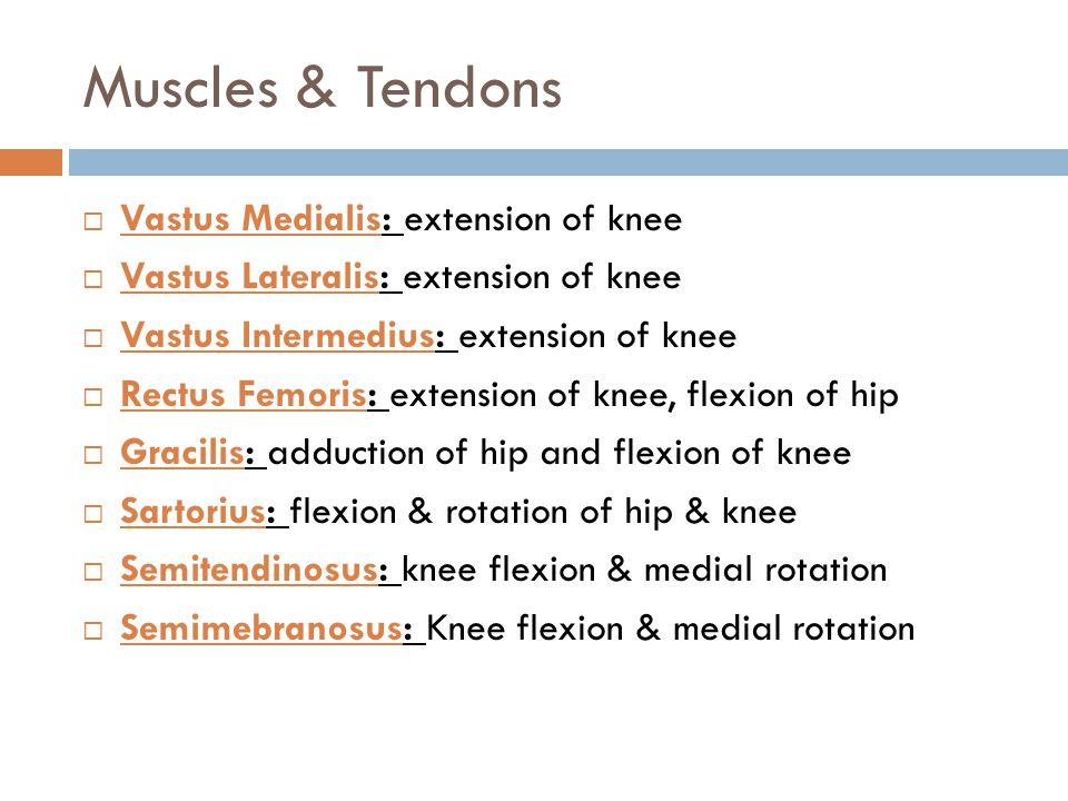 Muscles & Tendons Vastus Medialis: extension of knee