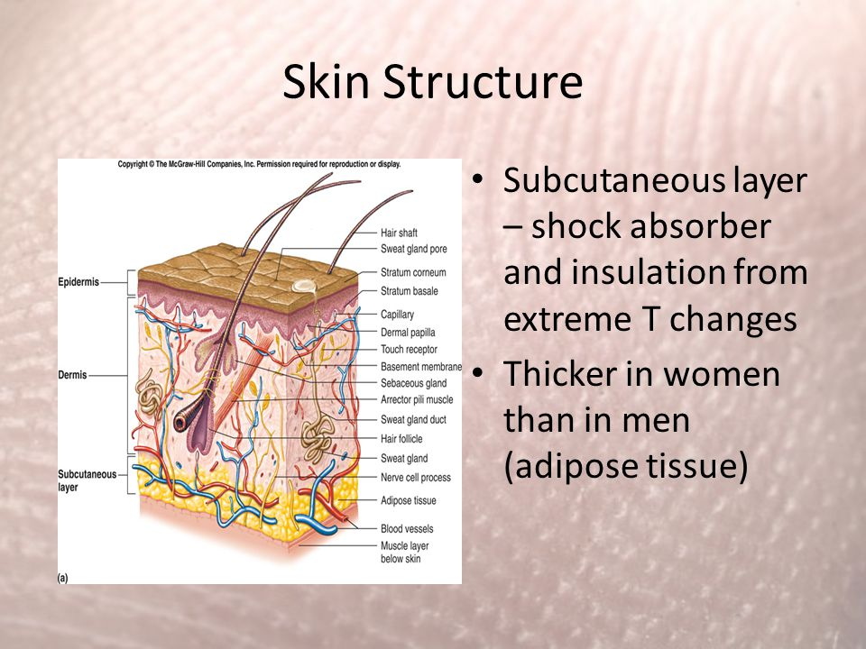 Skin Structure Subcutaneous layer – shock absorber and insulation from extreme T changes.