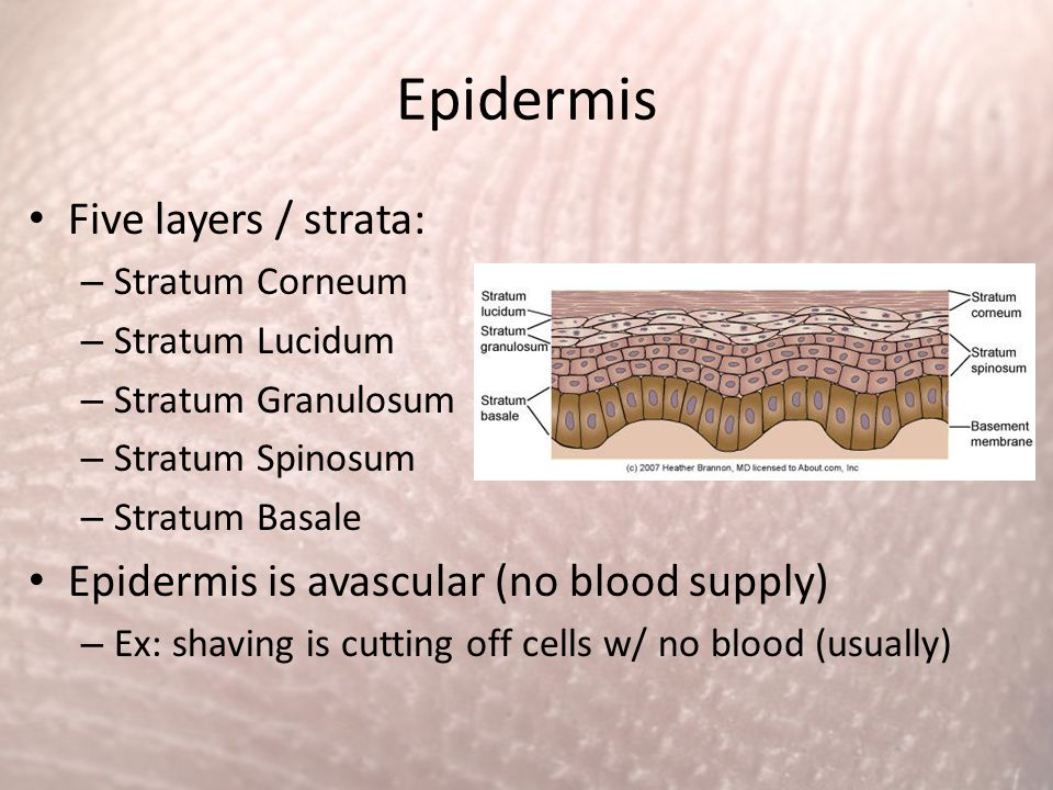 Epidermis Five layers / strata: