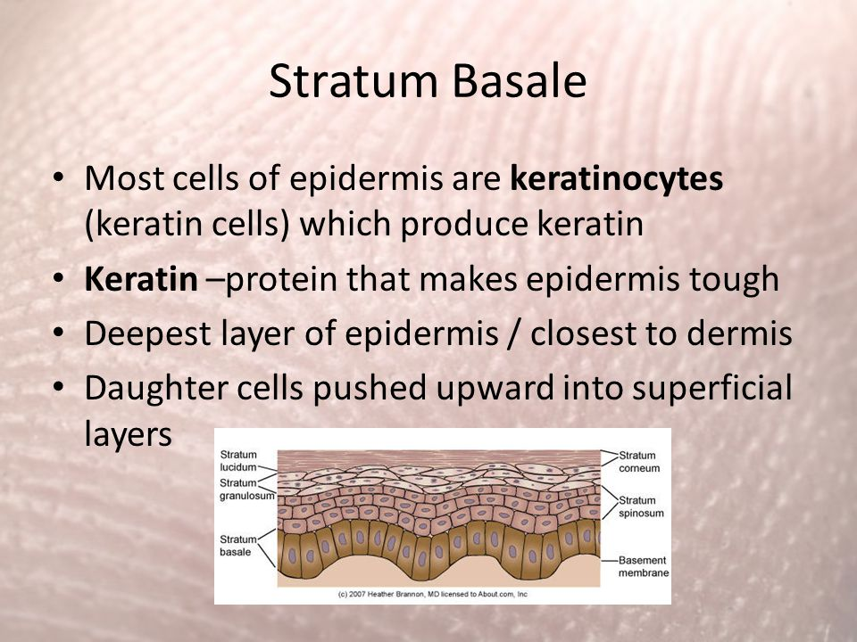 Stratum Basale Most cells of epidermis are keratinocytes (keratin cells) which produce keratin. Keratin –protein that makes epidermis tough.
