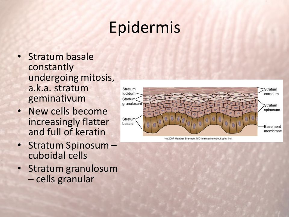 Epidermis Stratum basale constantly undergoing mitosis, a.k.a. stratum geminativum. New cells become increasingly flatter and full of keratin.
