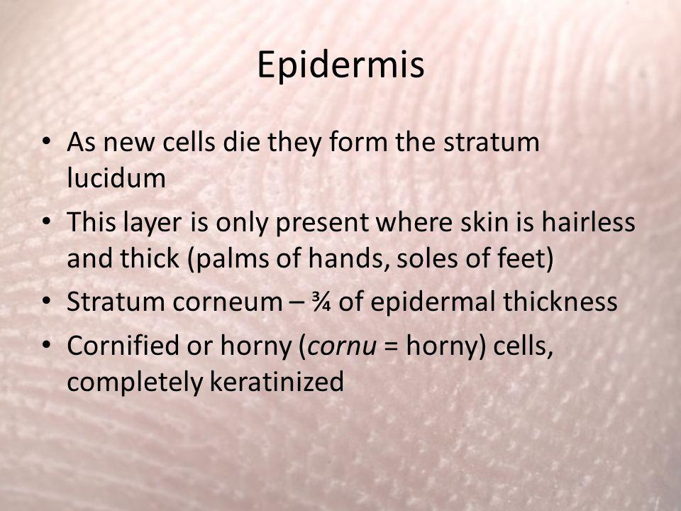 Epidermis As new cells die they form the stratum lucidum