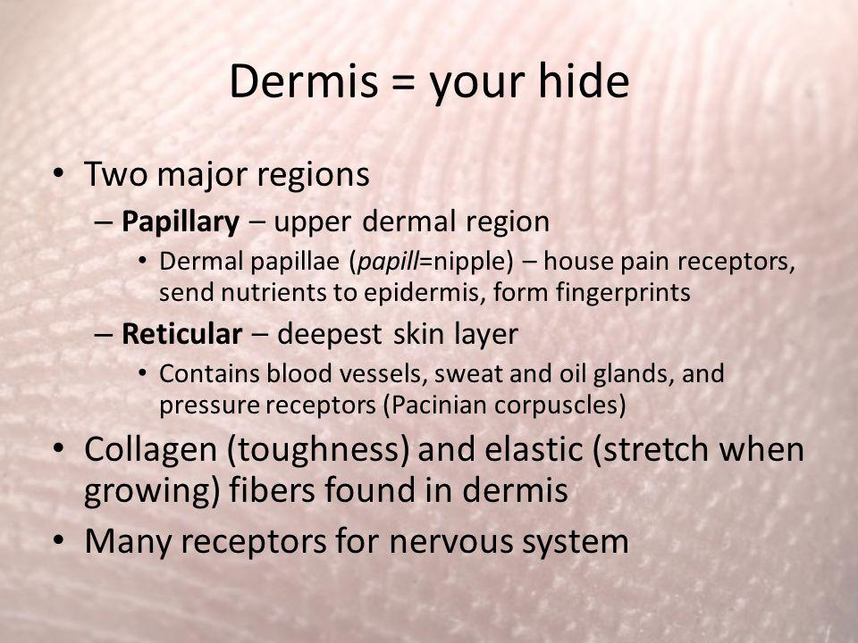 Dermis = your hide Two major regions