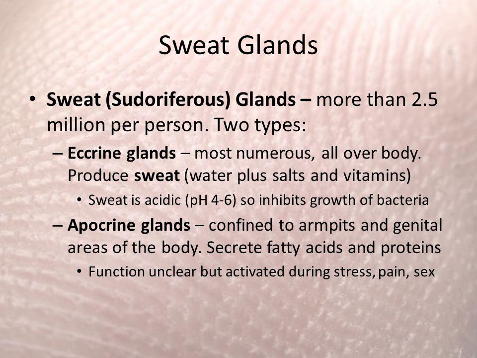 Sweat Glands Sweat (Sudoriferous) Glands – more than 2.5 million per person. Two types: