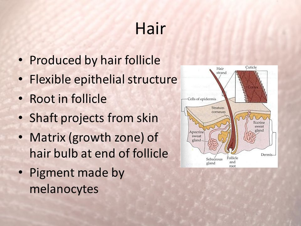 Hair Produced by hair follicle Flexible epithelial structure
