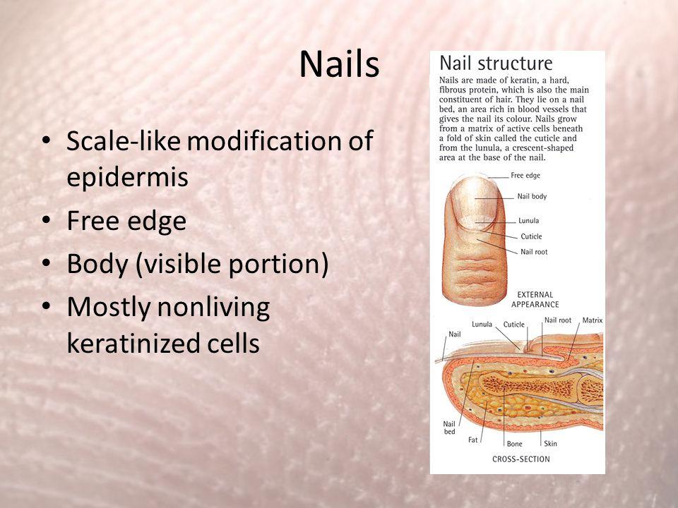 Nails Scale-like modification of epidermis Free edge