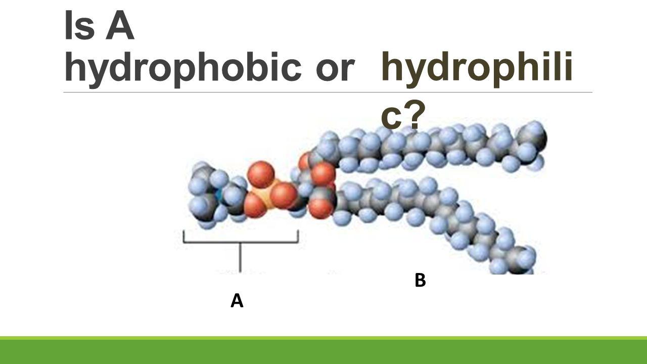 Is A hydrophobic or hydrophilic B A