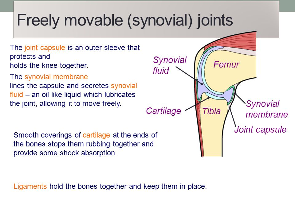Freely movable (synovial) joints