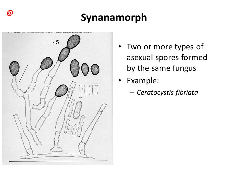 @ Synanamorph. Two or more types of asexual spores formed by the same fungus.