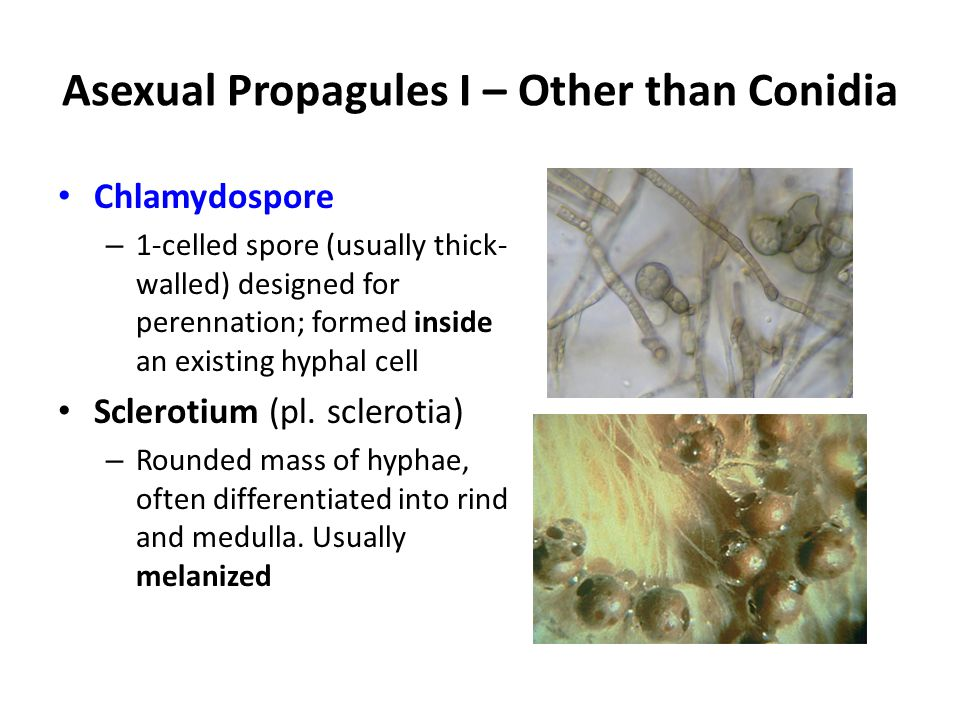 Asexual Propagules I – Other than Conidia