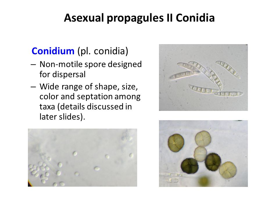 Asexual propagules II Conidia