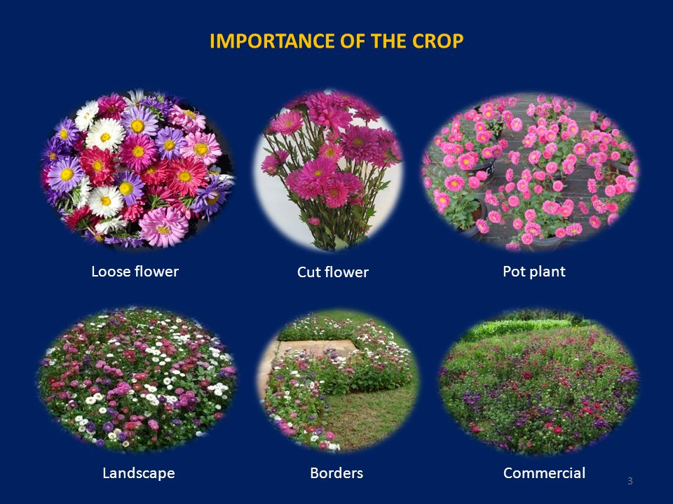 IMPORTANCE OF THE CROP Loose flower Cut flower Pot plant Landscape