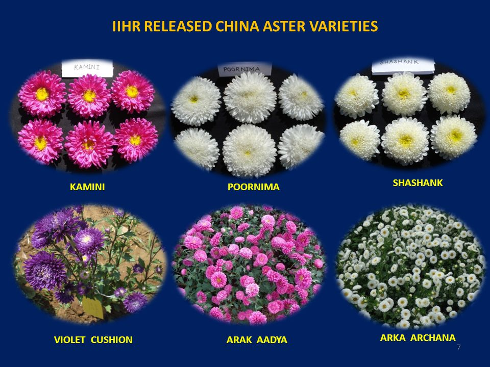 IIHR RELEASED CHINA ASTER VARIETIES
