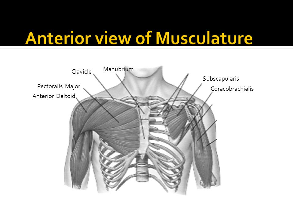 Anterior view of Musculature