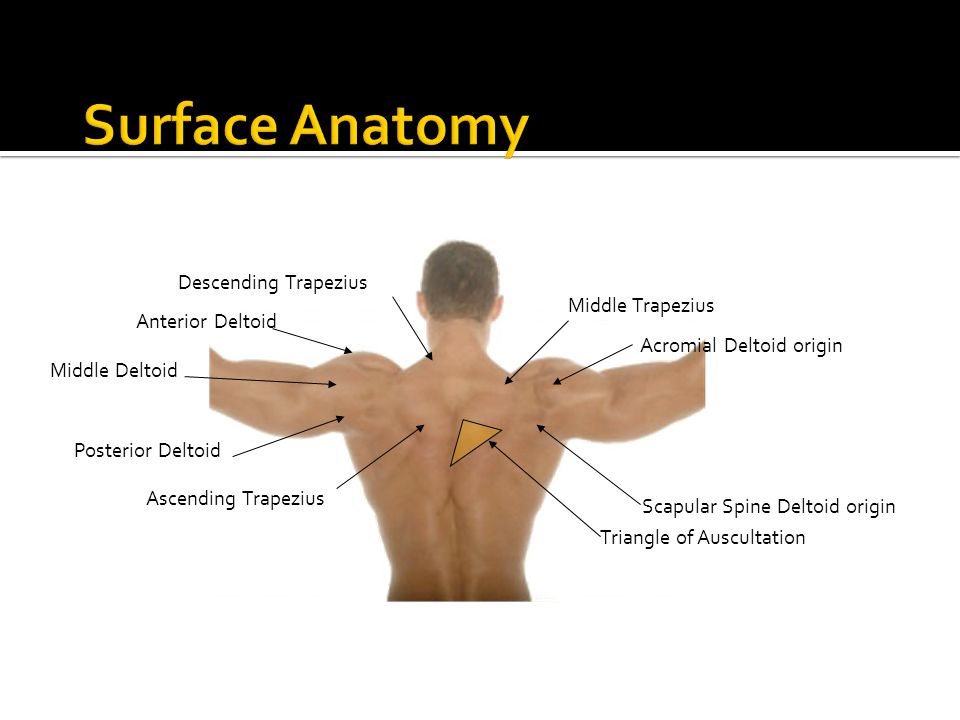 Surface Anatomy Descending Trapezius Middle Trapezius Anterior Deltoid