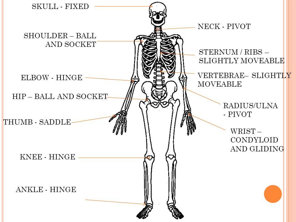 SKULL - FIXED NECK - PIVOT. SHOULDER – BALL AND SOCKET. STERNUM / RIBS – SLIGHTLY MOVEABLE. VERTEBRAE– SLIGHTLY MOVEABLE.