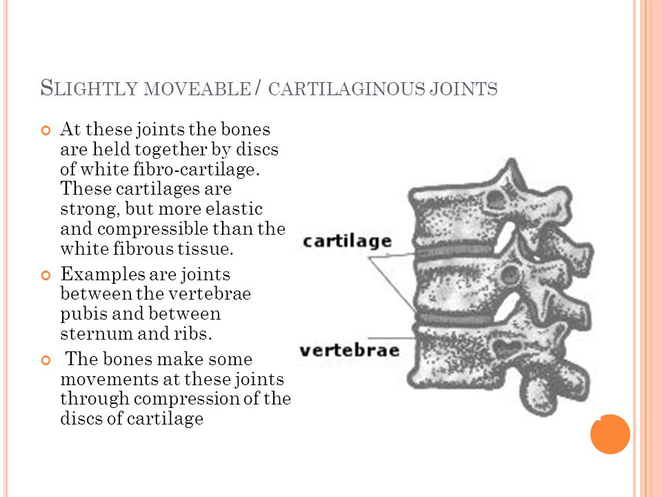 Slightly moveable / cartilaginous joints