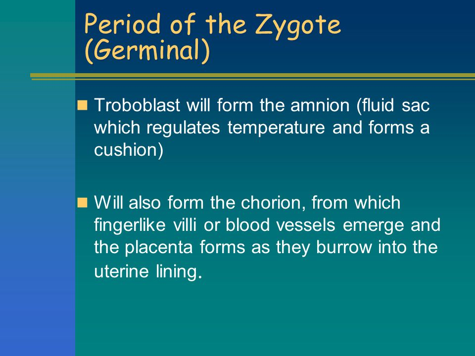 Period of the Zygote (Germinal)