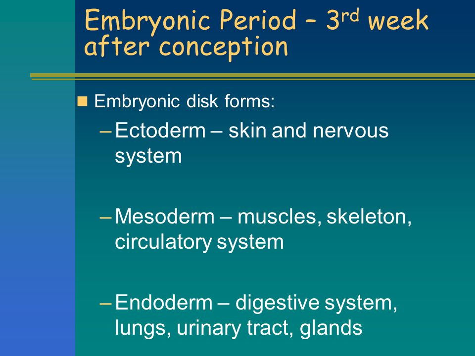Embryonic Period – 3rd week after conception