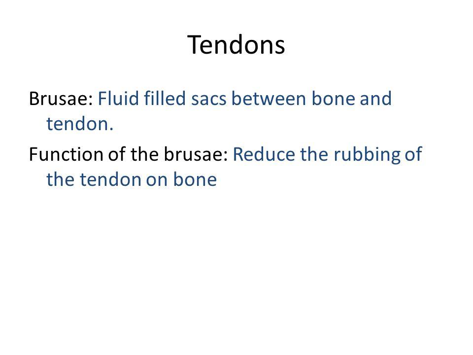 Tendons Brusae: Fluid filled sacs between bone and tendon.