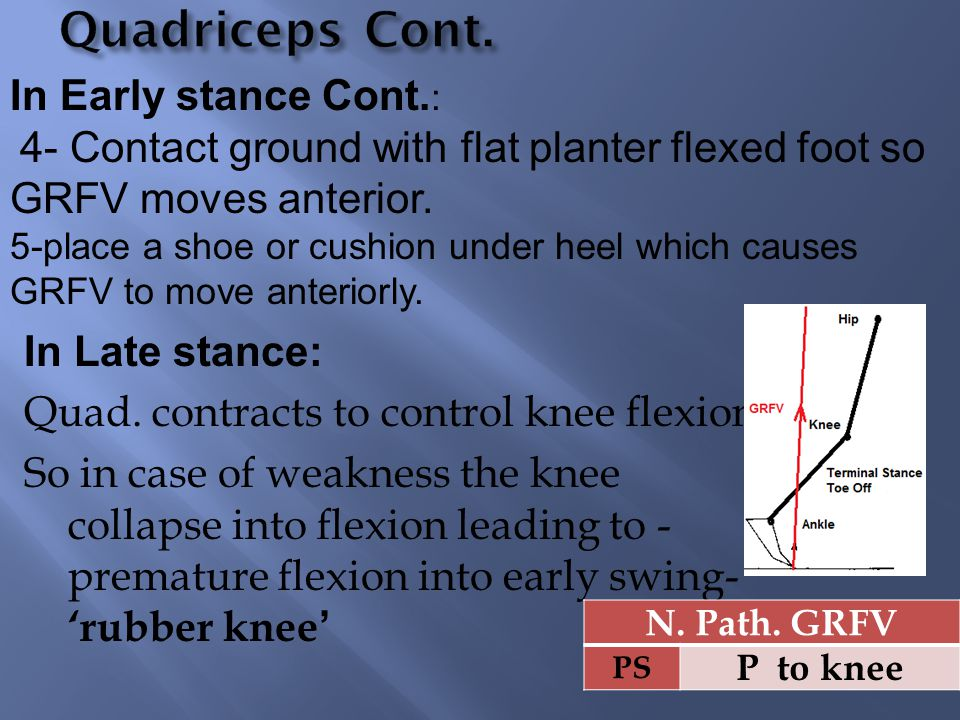 Quadriceps Cont. In Early stance Cont.: In Late stance: