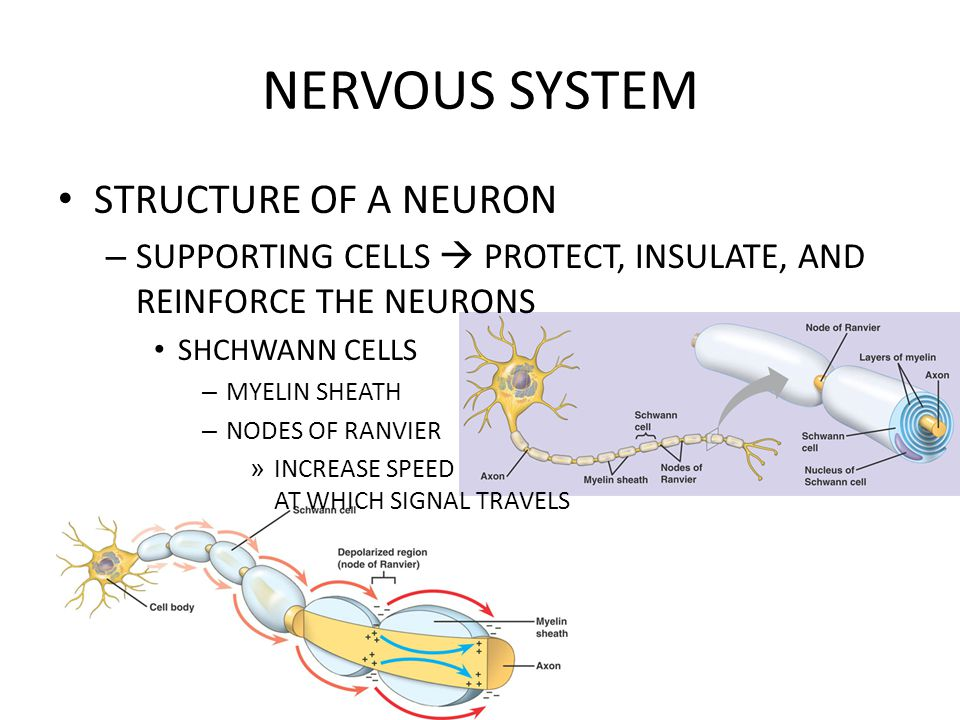 NERVOUS SYSTEM STRUCTURE OF A NEURON