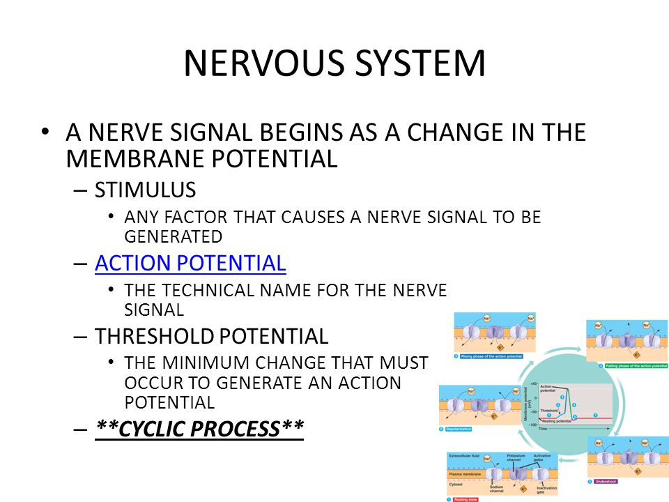 NERVOUS SYSTEM A NERVE SIGNAL BEGINS AS A CHANGE IN THE MEMBRANE POTENTIAL. STIMULUS. ANY FACTOR THAT CAUSES A NERVE SIGNAL TO BE GENERATED.