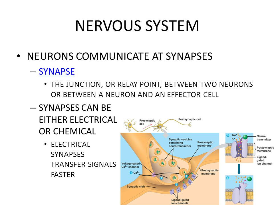 NERVOUS SYSTEM NEURONS COMMUNICATE AT SYNAPSES SYNAPSE