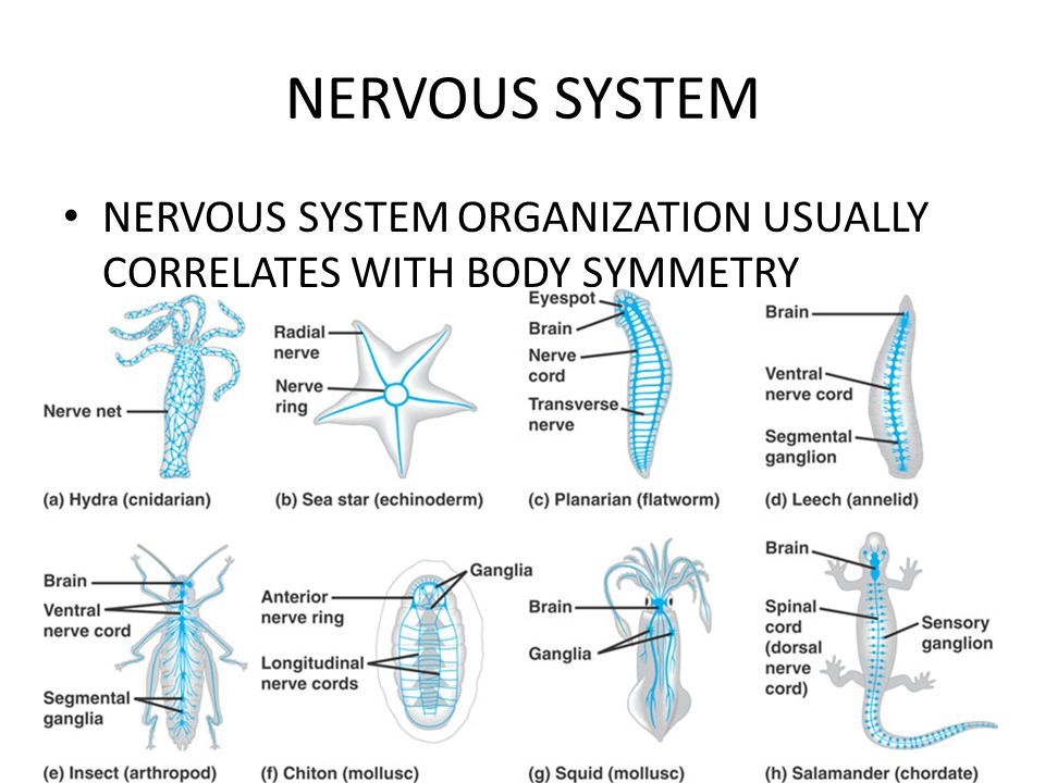 NERVOUS SYSTEM NERVOUS SYSTEM ORGANIZATION USUALLY CORRELATES WITH BODY SYMMETRY