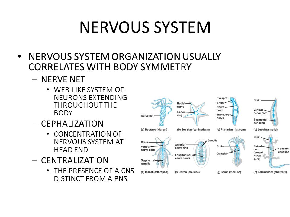 NERVOUS SYSTEM NERVOUS SYSTEM ORGANIZATION USUALLY CORRELATES WITH BODY SYMMETRY. NERVE NET.